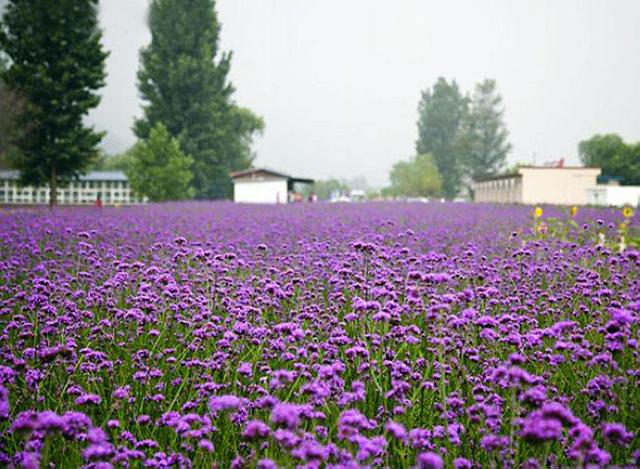 1,风吹起时,整片的薰衣草田如紫色的波浪层层叠叠,甚是美丽.